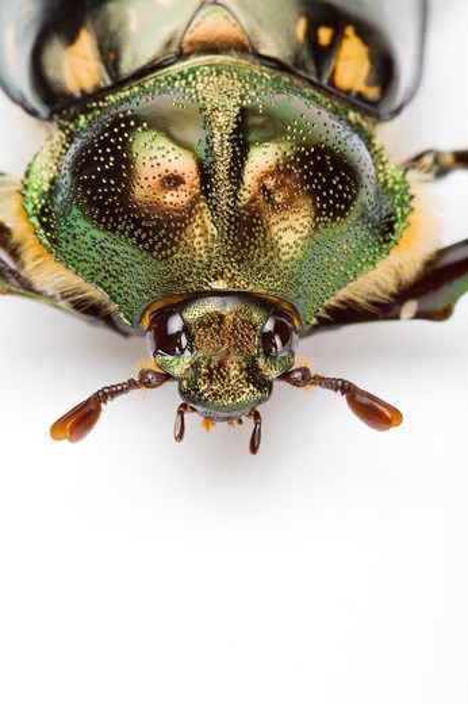 Stock Photo: 1397R-77412 Scarab Beetle, Beetle, Insect, Euchiridae, Coleoptera,
