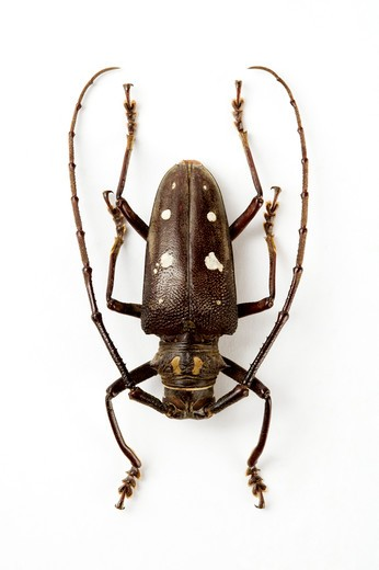 Stock Photo: 1397R-77428 Longhorn Beetle, Beetle, Insect, Coleoptera,