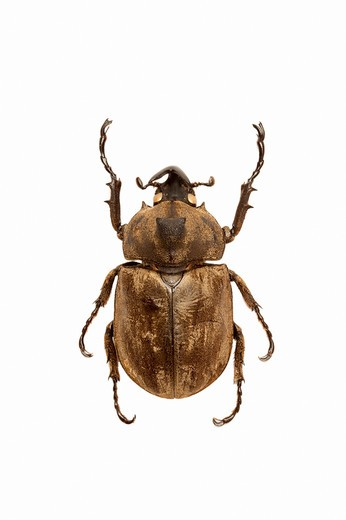 Dynastidae, Beetle, Insect, Coleoptera, Allomyrina pfeifferi, : Stock Photo