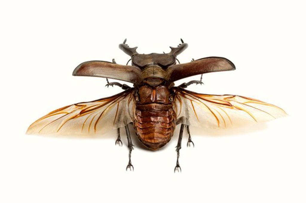 Stock Photo: 1397R-77471 Stag Beetle, Beetle, Insect, Coleoptera, Lucanus taiwanus Miwa,