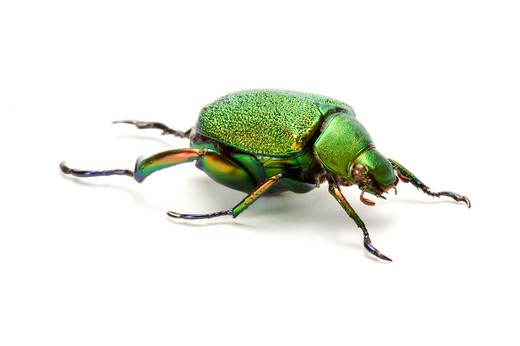 Stock Photo: 1397R-77480 Scarab Beetle, Beetle, Insect, Coleoptera, Chrysophora chrysochlora,