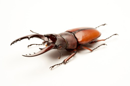 Stock Photo: 1397R-77515 Stag Beetle, Beetle, Insect, Coleoptera, Prosopocoilus astacoides blanchardi ,