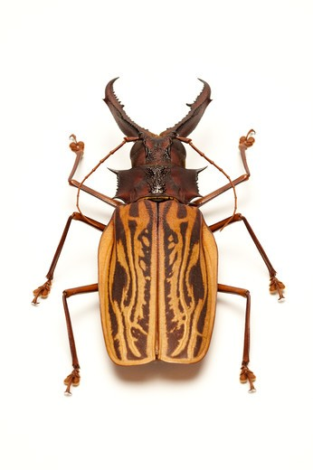Stock Photo: 1397R-77517 Longhorn Beetle, Beetle, Insect, Coleoptera, Macrodontia cervicornis ,