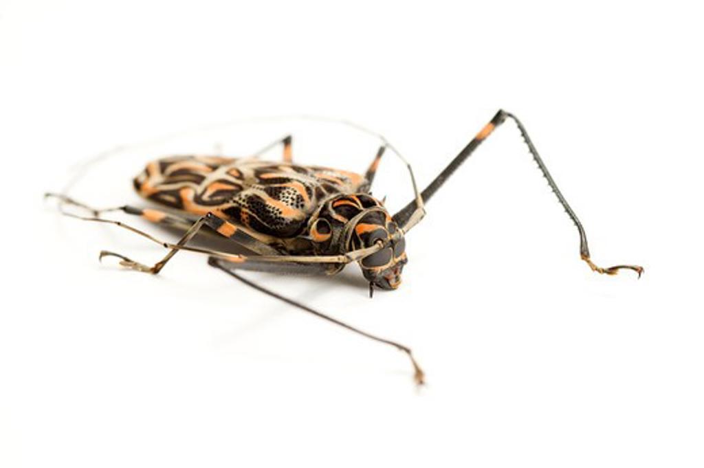 Longhorn Beetle, Beetle, Insect, Coleoptera, Acrocinus longimanus, : Stock Photo