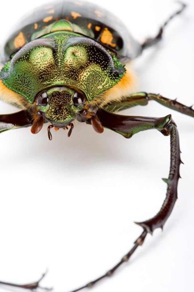 Scarab Beetle, Beetle, Insect, Euchiridae, Coleoptera, : Stock Photo