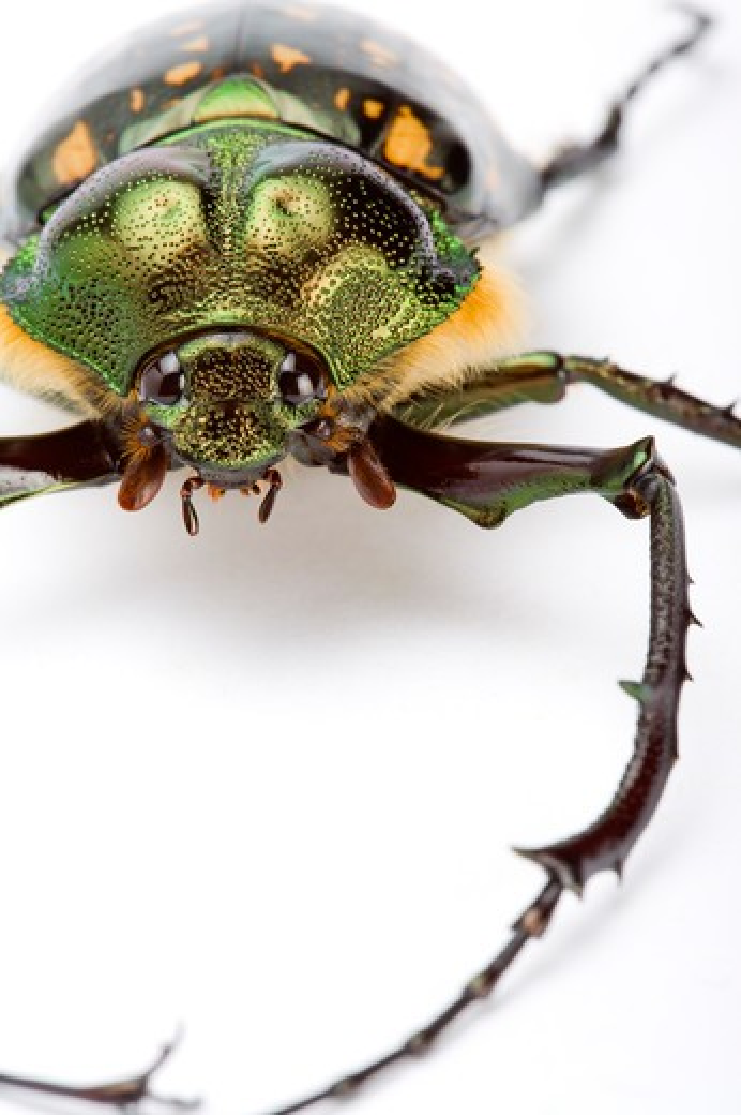 Stock Photo: 1397R-77536 Scarab Beetle, Beetle, Insect, Euchiridae, Coleoptera,