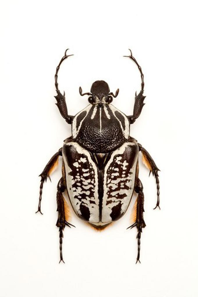 Stock Photo: 1397R-77539 Scarab Beetle, Beetle, Insect, Coleoptera, Cetoniidae,