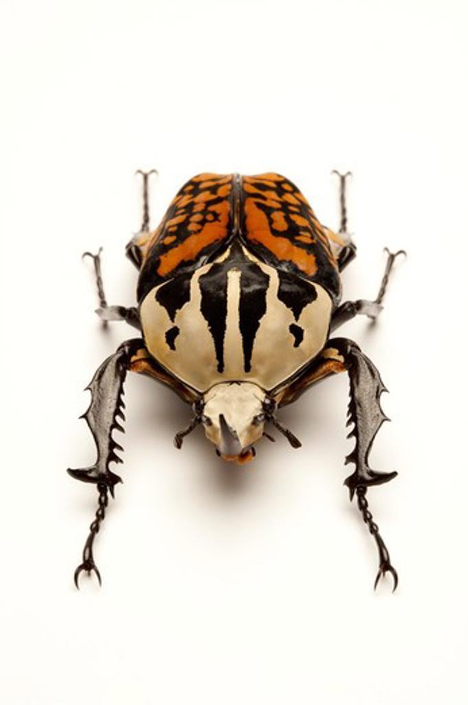 Stock Photo: 1397R-77562 Scarab Beetle, Beetle, Insect, Coleoptera, Cetoniidae,