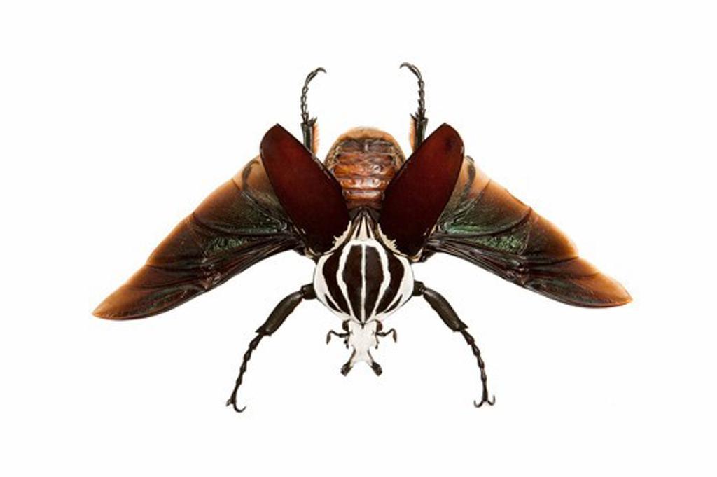 Stock Photo: 1397R-77571 Scarab Beetle, Beetle, Insect, Coleoptera, Cetoniidae,