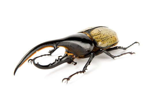 Dynastidae, Beetle, Insect, Coleoptera, Dynastes hercules hercules, : Stock Photo