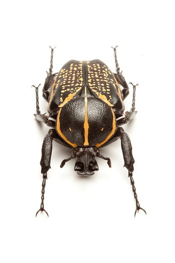 Stock Photo: 1397R-77591 Scarab Beetle, Beetle, Insect, Coleoptera, Cetoniidae,