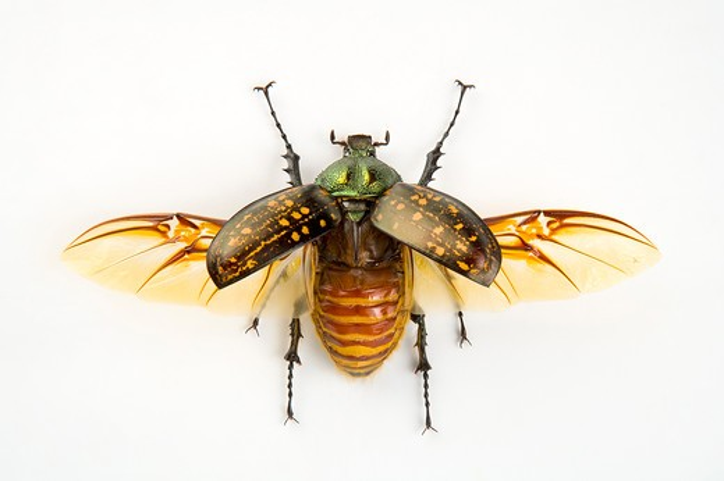 Stock Photo: 1397R-77606 Scarab Beetle, Beetle, Insect, Euchiridae, Coleoptera,