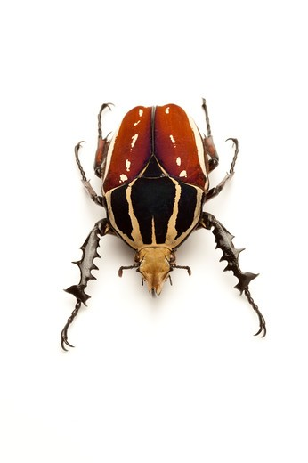 Stock Photo: 1397R-77608 Scarab Beetle, Beetle, Insect, Coleoptera, Cetoniidae,