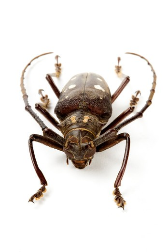 Longhorn Beetle, Beetle, Insect, Coleoptera, : Stock Photo