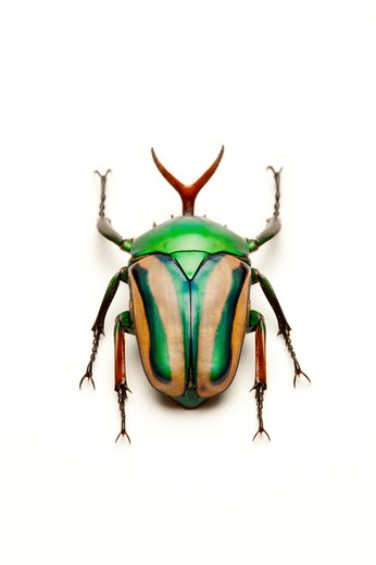 Stock Photo: 1397R-77630 Scarab Beetle, Beetle, Insect, Coleoptera, Cetoniidae,