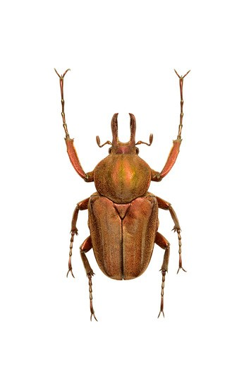 Stock Photo: 1397R-77639 Scarab Beetle, Beetle, Insect, Coleoptera, Cetoniidae,