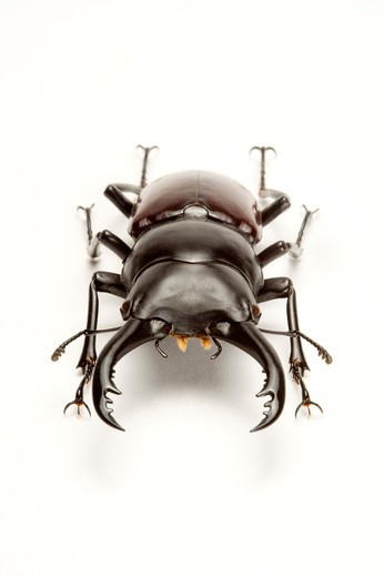 Stock Photo: 1397R-77640 Stag Beetle, Beetle, Insect, Coleoptera,