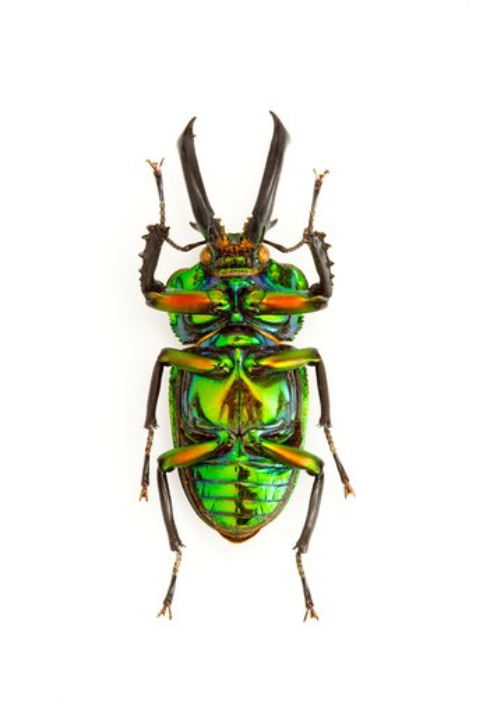 Stock Photo: 1397R-77681 Stag Beetle, Beetle, Insect, Coleoptera, Phalacrognatus muelleri ,