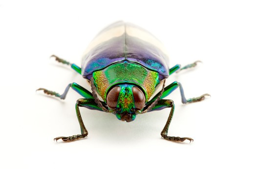 Jewel Beetle, Beetle, Insect, Coleoptera, Chrysochroa maruyamai , : Stock Photo