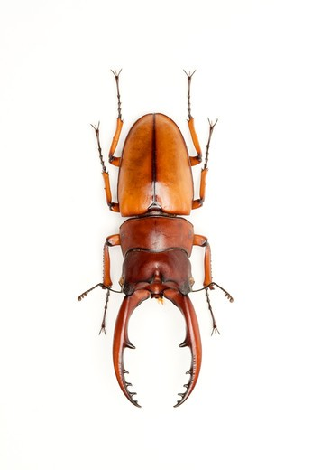 Stag Beetle, Beetle, Insect, Coleoptera, Prosopocoilus astacoides blanchardi , : Stock Photo
