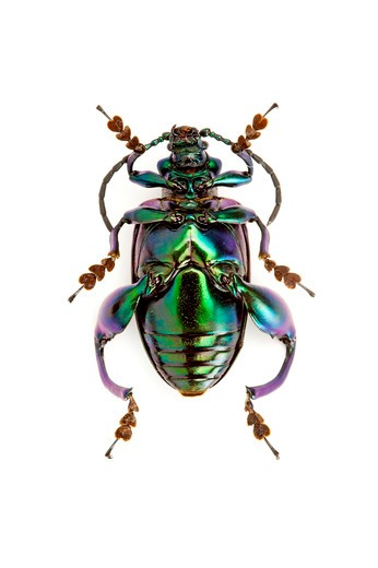 Stock Photo: 1397R-77689 Scarab Beetle, Beetle, Insect, Coleoptera, Chrysomelidae,