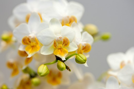 Stock Photo: 1397R-78015 Moth Orchid,Orchid,Flower,