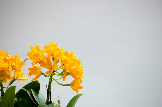 Orchid,Flower, : Stock Photo