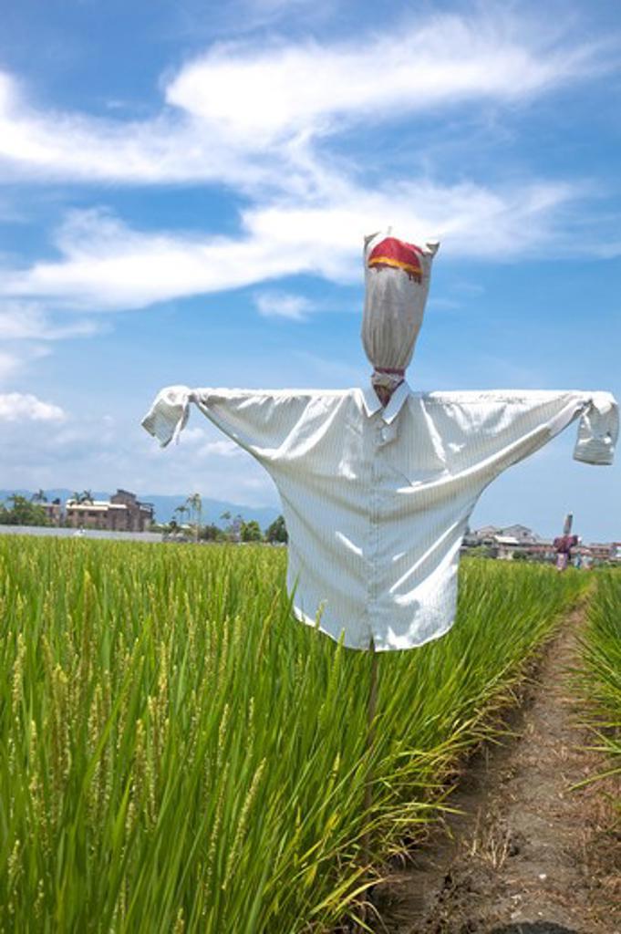Rice, Rice Paddy, Scarecrow, Yilan, Taiwan, Asia : Stock Photo