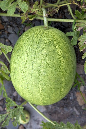 Stock Photo: 1397R-78386 Watermelon, Yilan, Taiwan, Asia