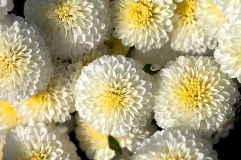 Chrysanthemum, Miaoli, Taiwan, Asia : Stock Photo