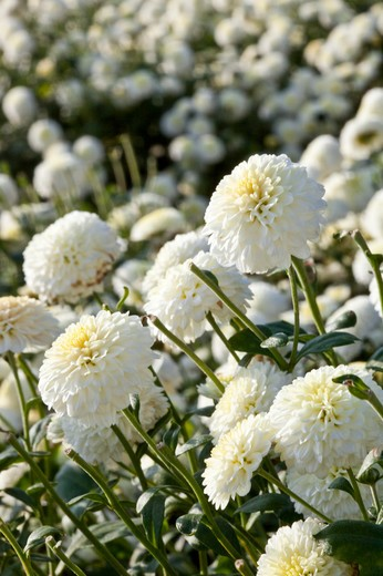 Chrysanthemum, Miaoli, Taiwan, Asia : Stock Photo