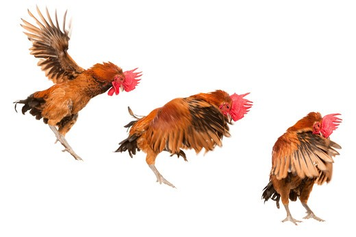 Rooster : Stock Photo