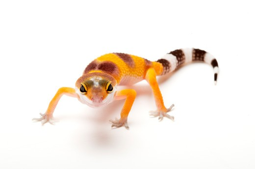 Gecko, Leopard Gecko : Stock Photo