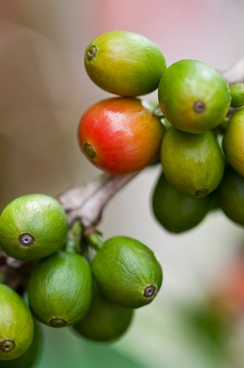 Stock Photo: 1397R-78706 Coffee Bean, Coffee Plant, Pingtung, Taiwan, Asia