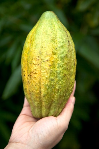 Stock Photo: 1397R-78711 Cocoa Bean, Pingtung, Taiwan, Asia
