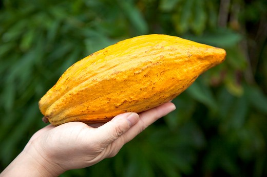 Stock Photo: 1397R-78719 Cocoa Bean, Pingtung, Taiwan, Asia