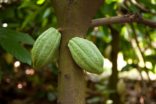 Stock Photo: 1397R-78736 Cocoa Bean, Cocoa Tree, Pingtung, Taiwan, Asia