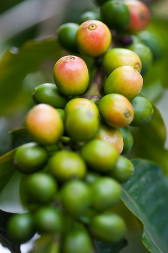 Stock Photo: 1397R-78741 Coffee Bean, Coffee Plant, Pingtung, Taiwan, Asia