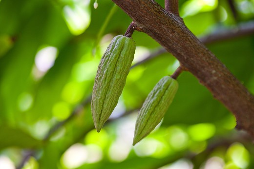 Stock Photo: 1397R-78750 Cocoa Bean, Cocoa Tree, Pingtung, Taiwan, Asia