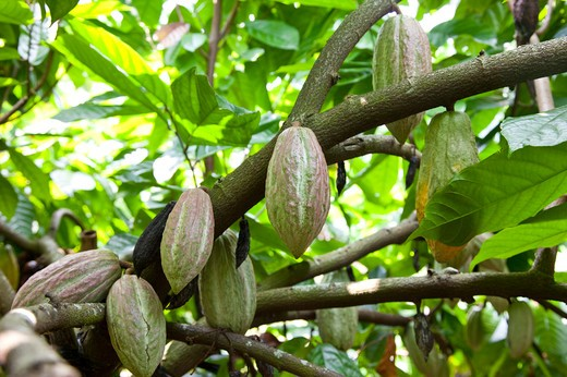 Stock Photo: 1397R-78764 Cocoa Bean, Cocoa Tree, Pingtung, Taiwan, Asia