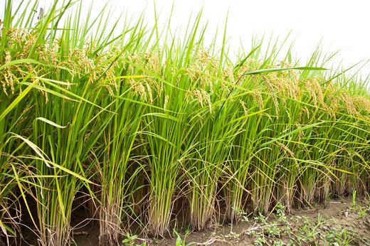Rice, Rice Paddy, Wild Rice, Pingtung, Taiwan, Asia, : Stock Photo