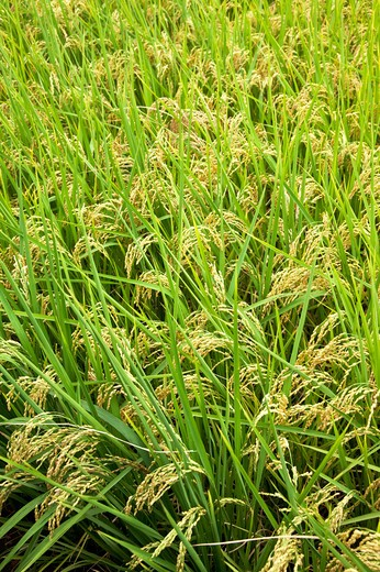 Stock Photo: 1397R-78780 Rice, Rice Paddy, Wild Rice, Pingtung, Taiwan, Asia,