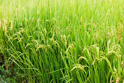 Stock Photo: 1397R-78787 Rice, Rice Paddy, Wild Rice, Pingtung, Taiwan, Asia,