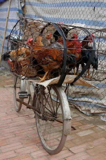 Stock Photo: 1397R-79615 Chickens in a cage on bicycle,Vietnam,Asia
