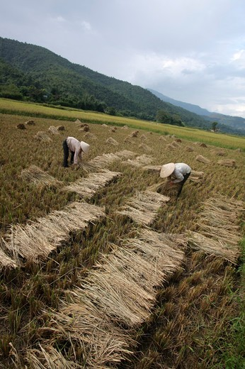 Stock Photo: 1397R-79618 vietnameses on a ricefield,Vietnam,Asia