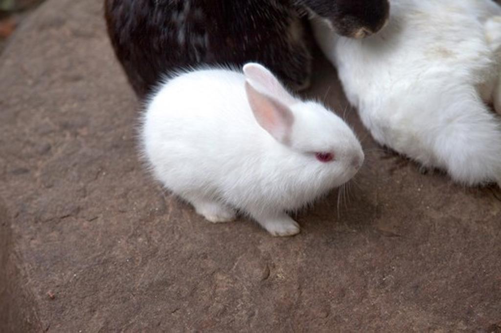 Stock Photo: 1397R-81327 Rabbit, Animal, Sun Moon Lake, Nantou, Taiwan, Asia,