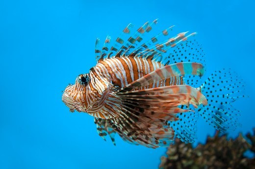 Stock Photo: 1397R-85512 Hokkaido, Japan, Asia, Sea Life, Animal, Lionfish,