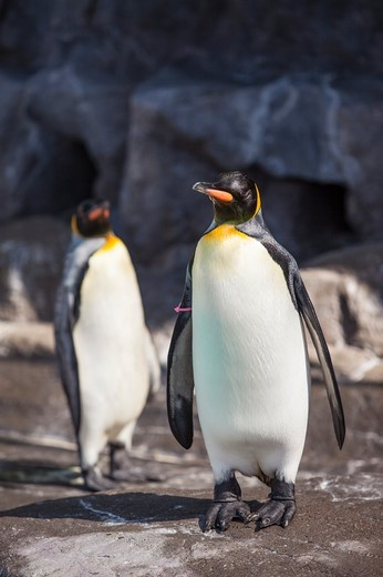 Stock Photo: 1397R-85552 Hokkaido, Japan, Asia, Sea Life, Animal, Penguin,