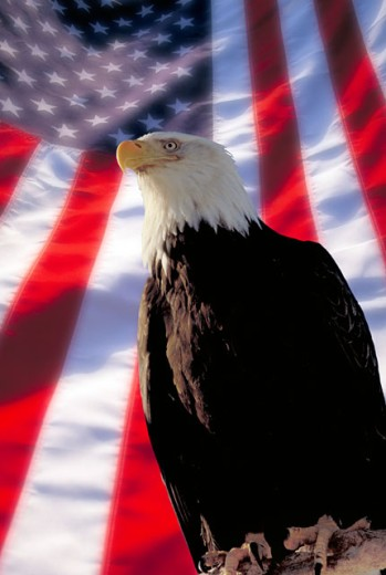 Stock Photo: 1400-459 Low angle view of a Bald Eagle flying in front of an American flag