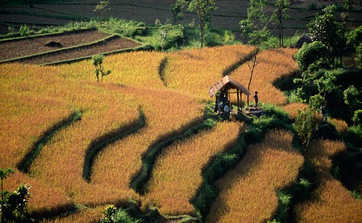 High angle view of terraced rice fields, Tirtagangga, Bali, Indonesia : Stock Photo